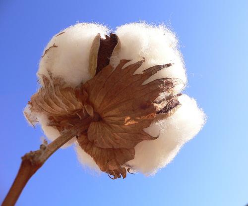 historia del algodon: